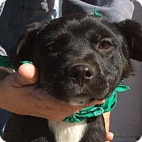 Adopt A Pet :: Petunia - Trenton, NJ