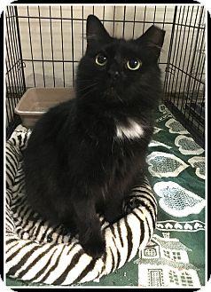 Domestic Mediumhair Kitten for adoption in Atlanta, Georgia - Kiki