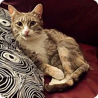 Calico Cat for adoption in Kalamazoo, Michigan - Bellie