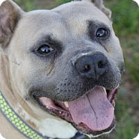 Mastiff/American Pit Bull Terrier Mix Dog for adoption in Cumberland, Virginia - Porkchop - in a foster home!