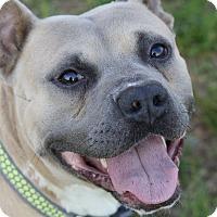 Adopt A Pet :: Porkchop - in a foster home! - Cumberland, VA