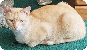 Domestic Shorthair Cat for adoption in Buhl, Idaho - Dingo