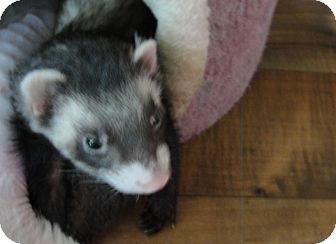 Ferret for adoption in Hartford, Connecticut - Sammy