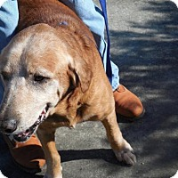Adopt A Pet :: Dandy - Murrells Inlet, SC
