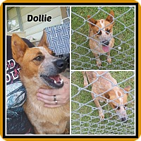 Australian Cattle Dog Dog for adoption in Malvern, Arkansas - DOTTIE