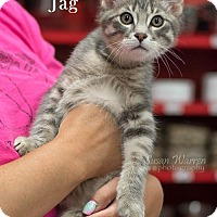 Adopt A Pet :: Jag - Albuquerque, NM