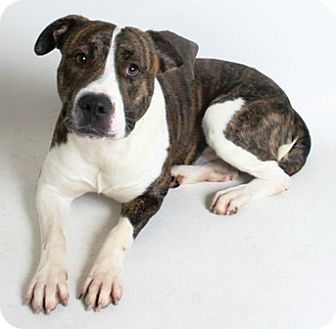 Pit Bull Terrier Mix Dog for adoption in Redding, California - Dre