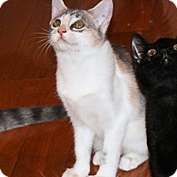 Domestic Shorthair Kitten for adoption in Morganton, North Carolina - Max