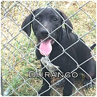 Pointer Mix Dog for adoption in Comanche, Texas - Durango