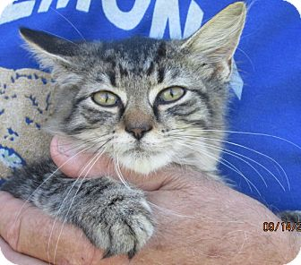 Maine Coon Kitten for adoption in Germantown, Maryland - Jed