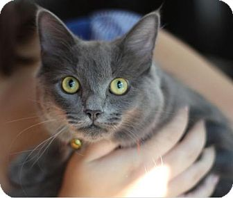 Maine Coon Cat for adoption in Raleigh, North Carolina - Margo