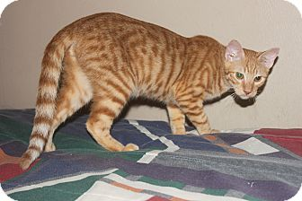 Domestic Shorthair Cat for adoption in Houston, Texas - Finlay