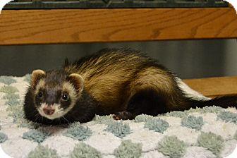 Ferret for adoption in Michigan City, Indiana - Smokey