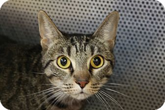 Domestic Shorthair Cat for adoption in Sarasota, Florida - Monkey