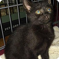 Domestic Shorthair Kitten for adoption in York, Pennsylvania - Shadow