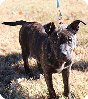 Terrier (Unknown Type, Medium) Mix Puppy for adoption in Glastonbury, Connecticut - Willow