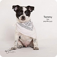 Rat Terrier Mix Puppy for adoption in Riverside, California - Tommy