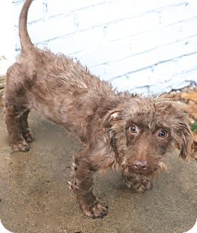 Dachshund/Terrier (Unknown Type, Small) Mix Dog for adoption in Bedminster, New Jersey - Eccles - MEET ME
