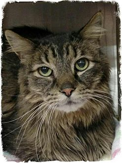 Manx Cats For Adoption In Colorado