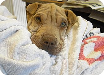 Shar Pei Mix Dog for adoption in Wickenburg, Arizona - Mannie Moe