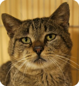 Domestic Shorthair Cat for adoption in Medford, Massachusetts - Albert