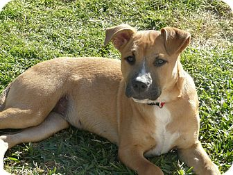 Boxer Mix Dog for adoption in Houston, Texas - Ladybug