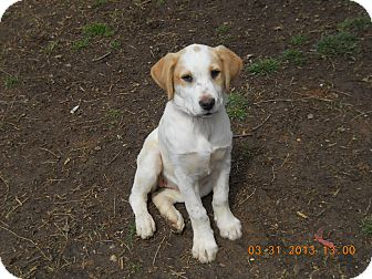 Labrador Retriever/Hound (Unknown Type) Mix Puppy for adoption in Charlotte, North Carolina - Serena