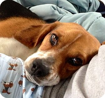 Beagle Dog for adoption in Novi, Michigan - Fancy