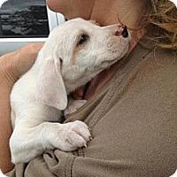 Adopt A Pet :: Sugar Wilder - Southampton, PA