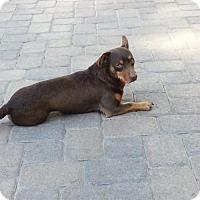 Adopt A Pet :: Paulie - Lacey, WA
