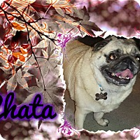Adopt A Pet :: Chata - Walled Lake, MI