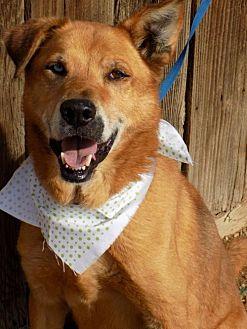 Husky/Labrador Retriever Mix Dog for adoption in Apple Valley, California - Scamp