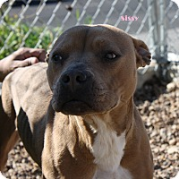 Pit Bull Terrier Mix Dog for adoption in San Antonio, Texas - Sissy