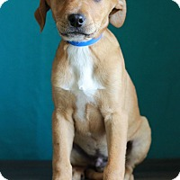 Adopt A Pet :: Topaz - Waldorf, MD