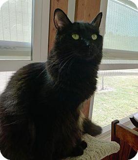 Norwegian Forest Cat Cat for adoption in Long Beach, California - Storie