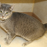 Domestic Mediumhair Cat for adoption in Salisbury, North Carolina - Frosty