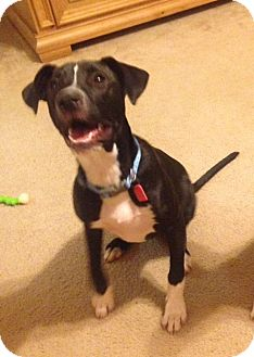 Labrador Retriever/Pit Bull Terrier Mix Puppy for adoption in Mobile, Alabama - Mickey