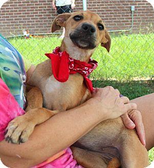 Black Mouth Cur/Labrador Retriever Mix Puppy for adoption in Groton, Massachusetts - Mona