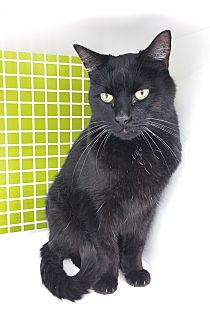 Domestic Shorthair Cat for adoption in Meridian, Idaho - Cinder