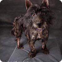 Adopt A Pet :: Petunia - Atlanta, GA