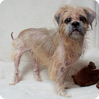 Shih Tzu Mix Dog for adoption in Lebanon, Tennessee - Finley (D16-137)
