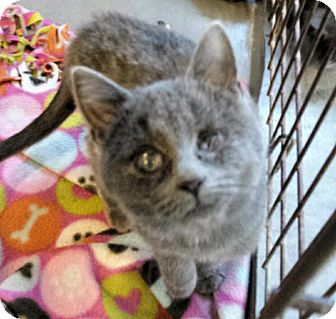 Domestic Shorthair Kitten for adoption in Washburn, Missouri - Savannah