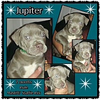 Adopt A Pet :: Jupiter - Richmond, CA