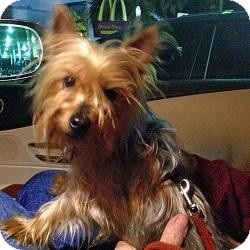 Yorkie, Yorkshire Terrier Dog for adoption in The Villages, Florida - Sebastian
