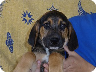 Labrador Retriever/Hound (Unknown Type) Mix Puppy for adoption in Oviedo, Florida - Cappy