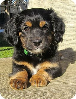Cocker spaniel dachshund mix puppy - photo#13