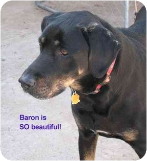 Baron | Adopted Dog | Vista, CA | Great Dane/Rottweiler Mix