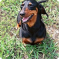 Adopt A Pet :: Country Boy - Pinellas Park, FL