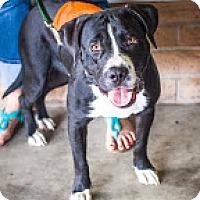 Adopt A Pet :: Calvin - Sunnyvale, CA