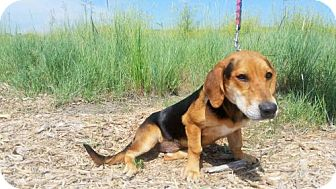 Coonhound/Basset Hound Mix Dog for adoption in Denver, Colorado - Pebbles